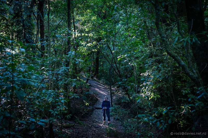 Rimu Loop Track Otanewaiuku Forest