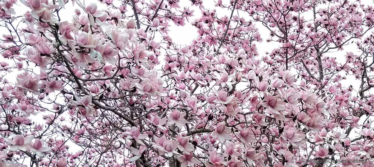 Magnolias flowering
