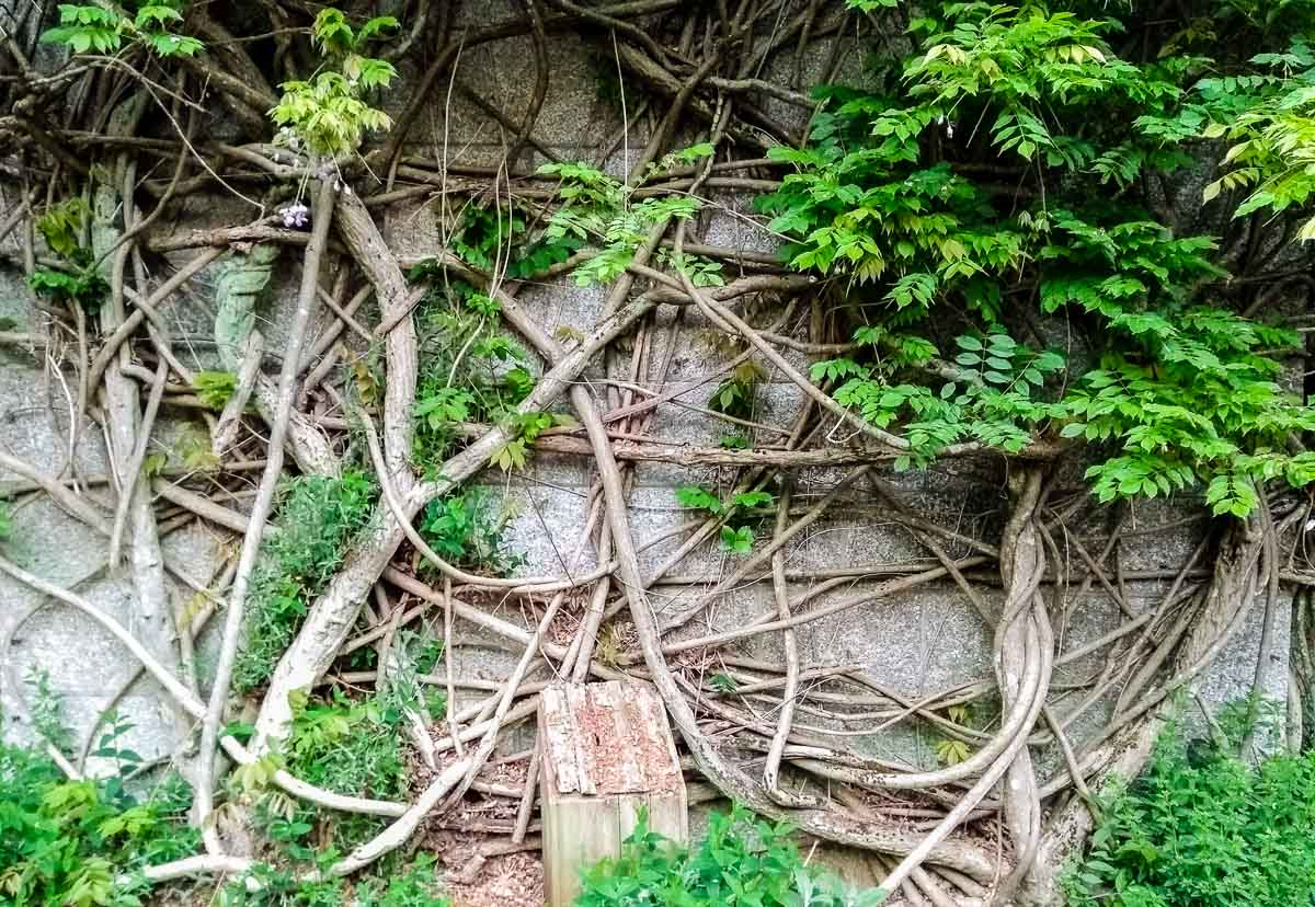 Lanhydrock House wall and vines