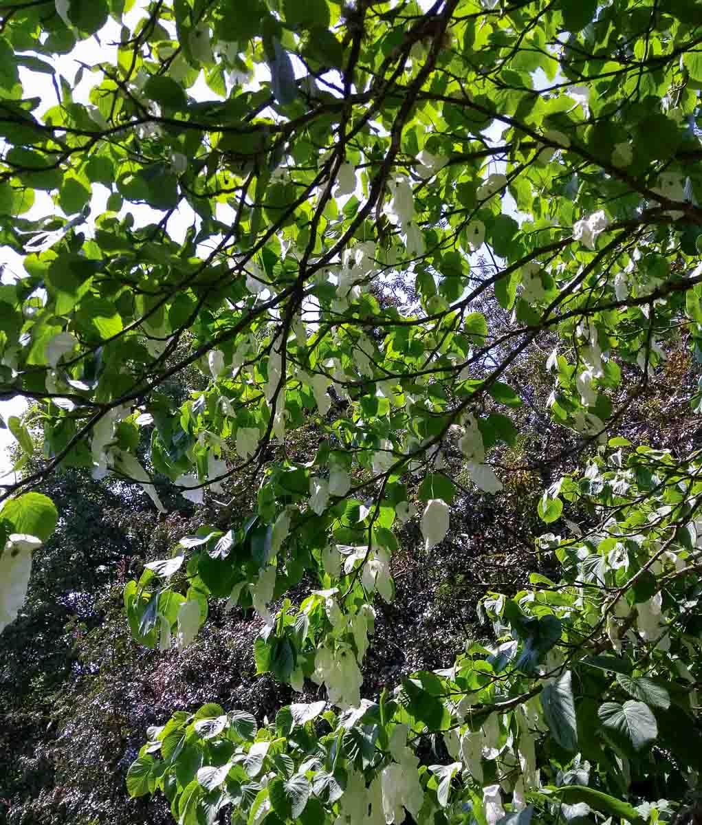 Handkerchief tree in Trelissick Garden