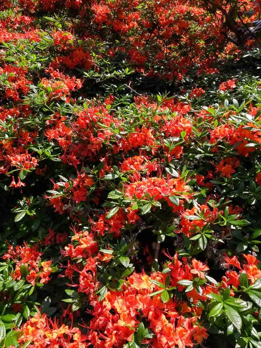 Rhododendrons in Trelissick garden