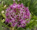 Aliums - my new favourite flowers