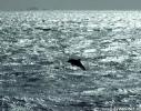Dolphins Rangiputa