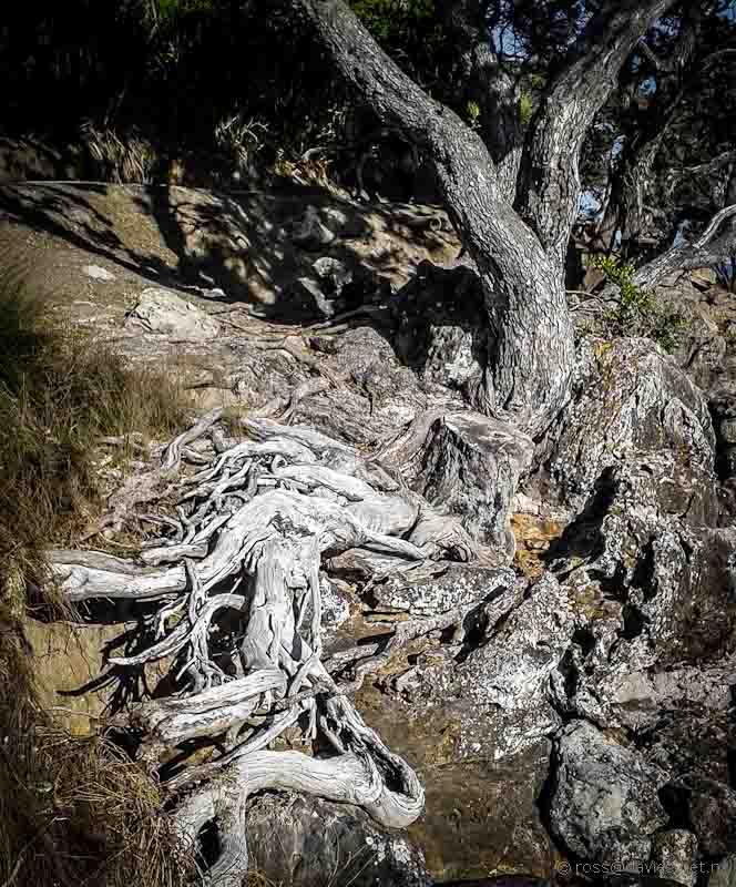 Pohutukawa tree roots Mt Maunganui