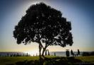 Pohutukawa tree Mt Maunganui