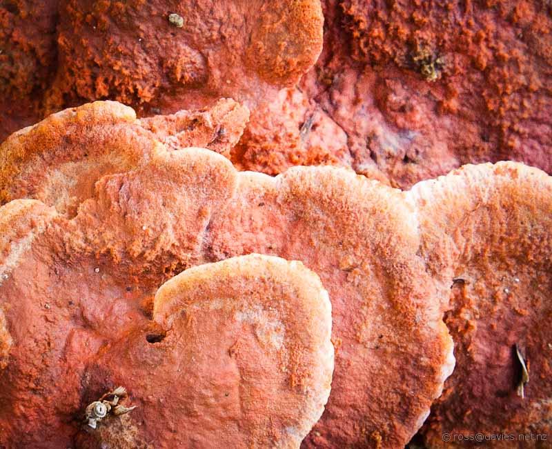 Trackside fungi on the Mangawhai Cliff Top Walkway