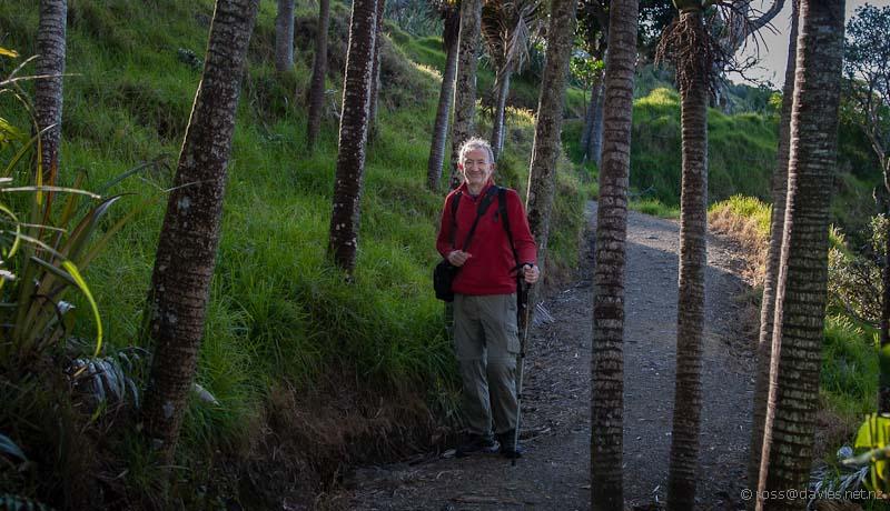 Nikau palms on the Mangawhai Cliff Top Walkway