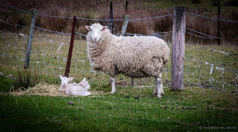 Very new lambs Mt Grand Road