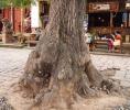 Old tree Market Square Shaxi