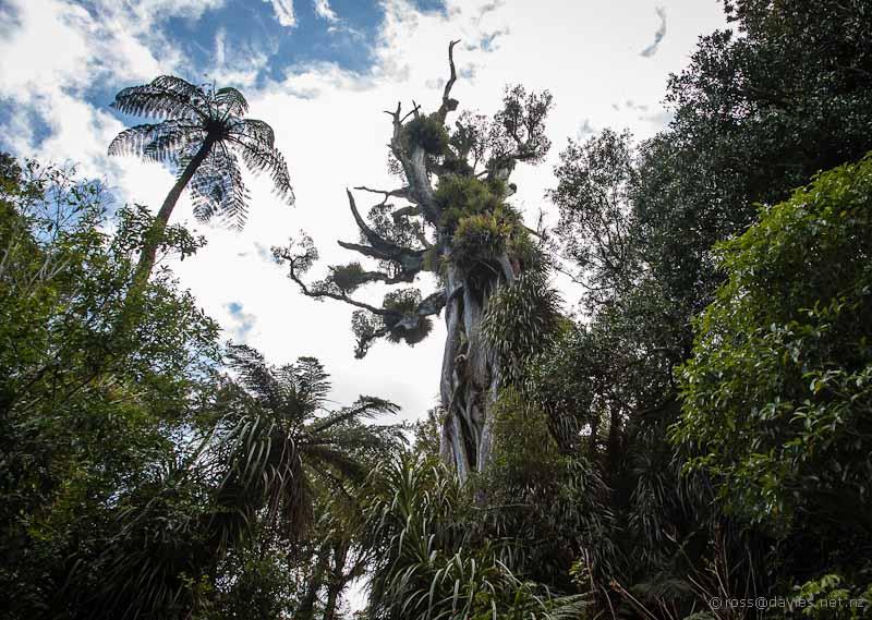 Northern Rata Pukeiti Gardens Taranaki