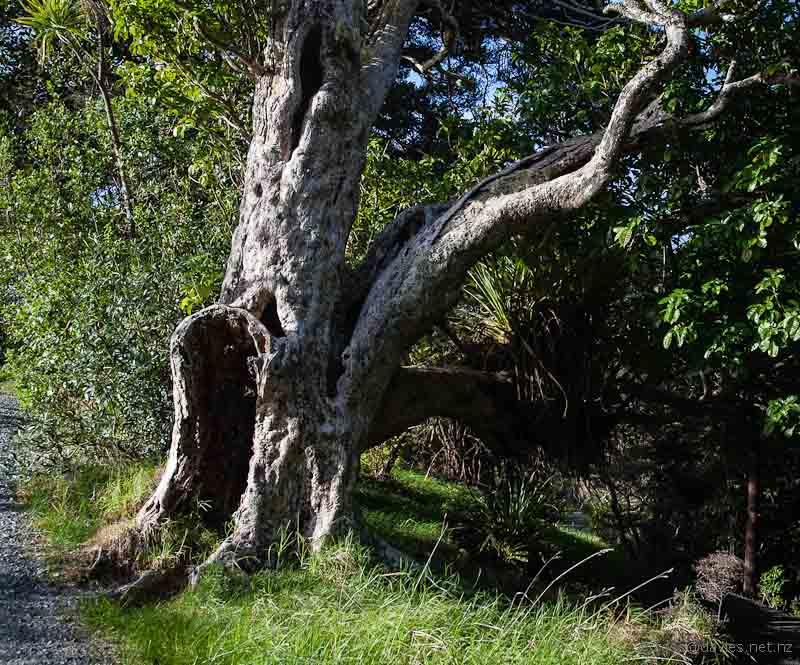 Puriri tree Whale Bay track