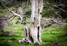 Puriri tree - Whananaki Walkway
