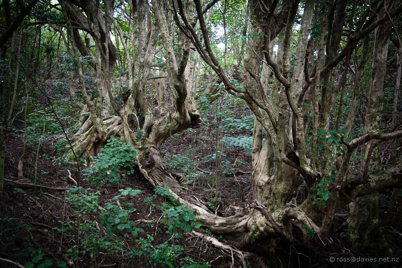 Enchanted tree in the enchanted forest at Waihi Beach