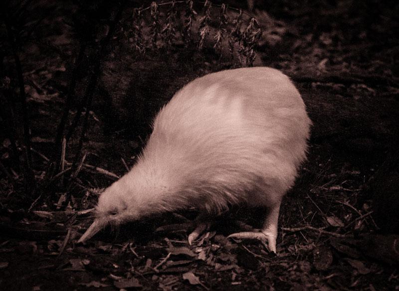 White Kiwi at Mt Bruce