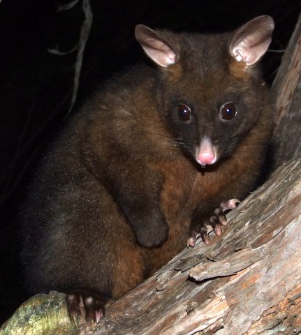 A nocturnal possum visitor to the camp at Whites Bay