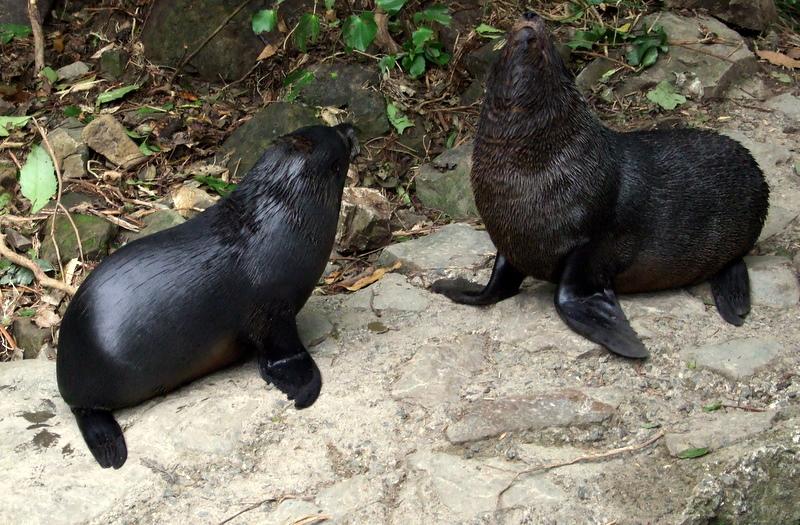Seal pups in the bush at Kaikoura