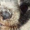 Seal pup face