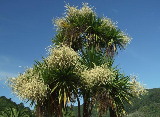 Cabbage trees Picton