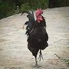 Chicken at 100 Chicken Temple