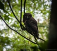 Morepork in Otanewaiuku Forest