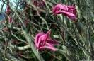 Magnolia Mangonui