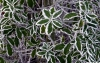 Hoar frost leaves