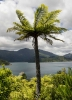 Tennyson Inlet Tree Fern