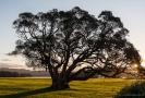 Pohutukawa tree Whangaruru Harbour Bland Bay