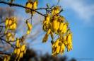 Kowhai tree flowers